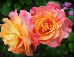 Coltivare rose in giardino